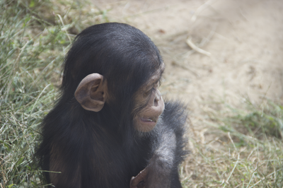baby chimp october 2015