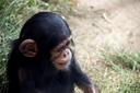 Rio, baby chimp, 2015