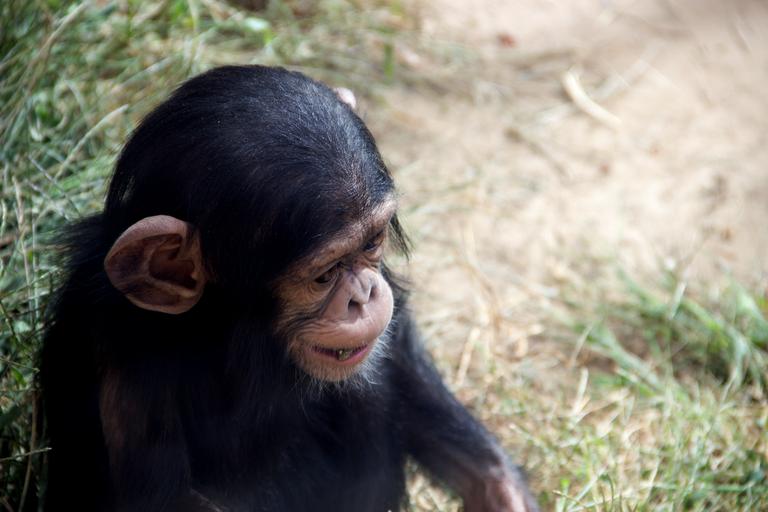 Rio chimp
