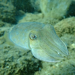 Common Cuttlefish Headshot Aquarium Yearbook