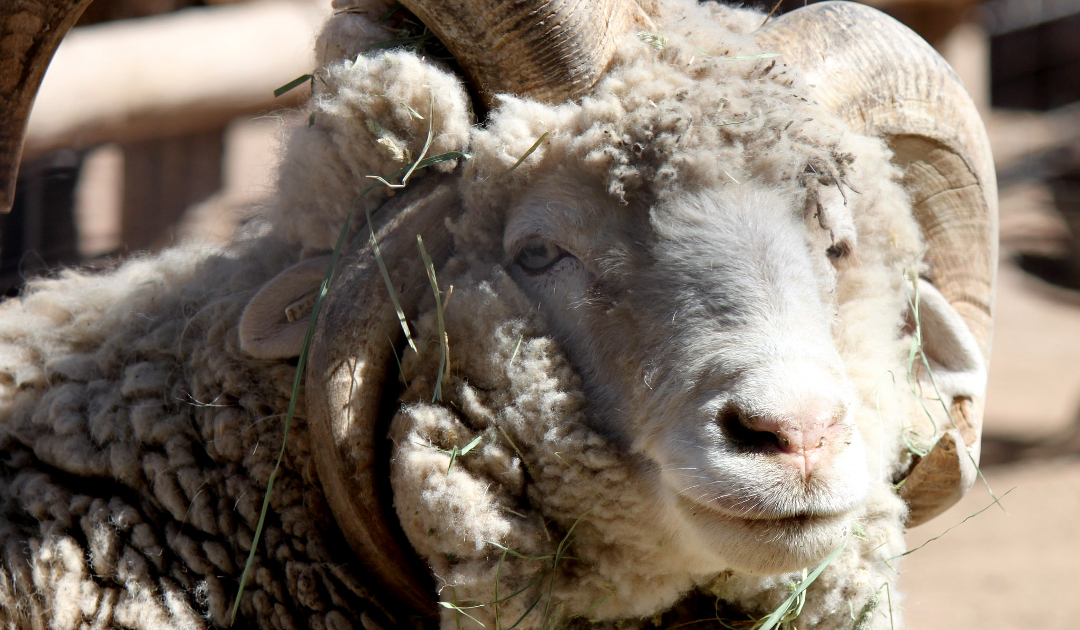 Heritage Breeds at the Farm