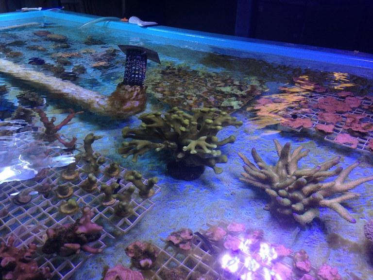coral propogation