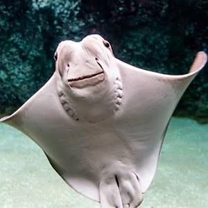 Cownose Ray Headshot Aquarium Animal Yearbook