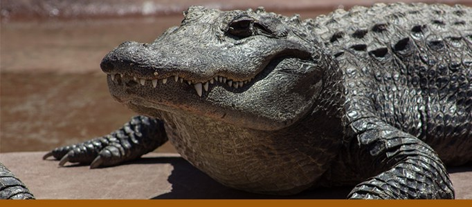 crocodile banner