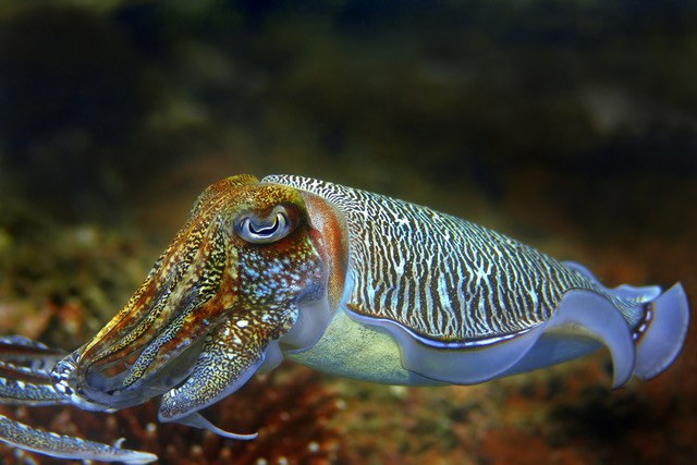 Cuttlefish Dreamstime Stock Image