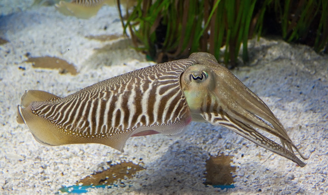 Cuttlefish Dreamstime Stock Image 2