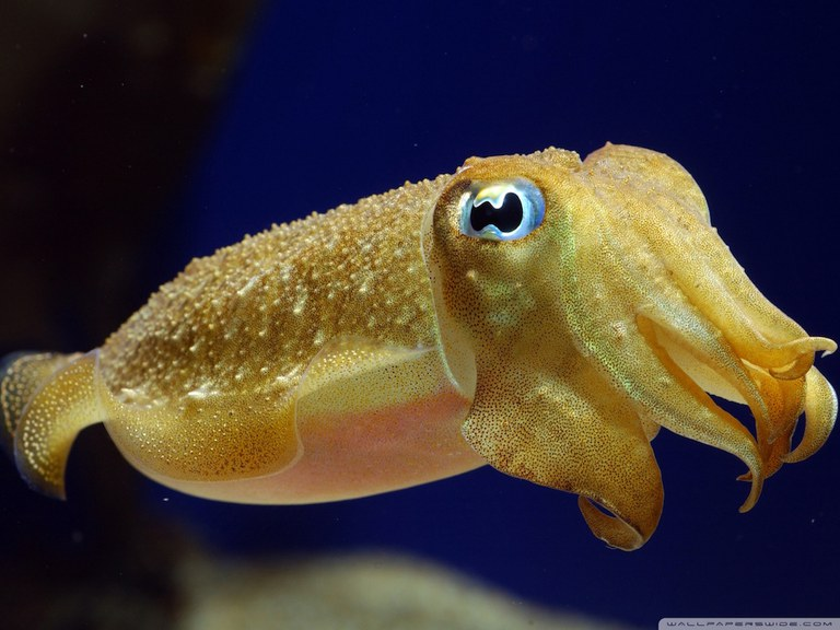 Cuttlefish Dreamstime Stock Image 3