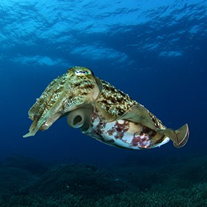 Cuttlefish Headshot Animal Yearbook