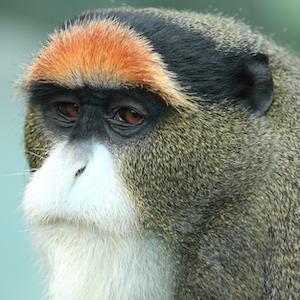 De Brazza's Monkey Headshot Animal Yearbook