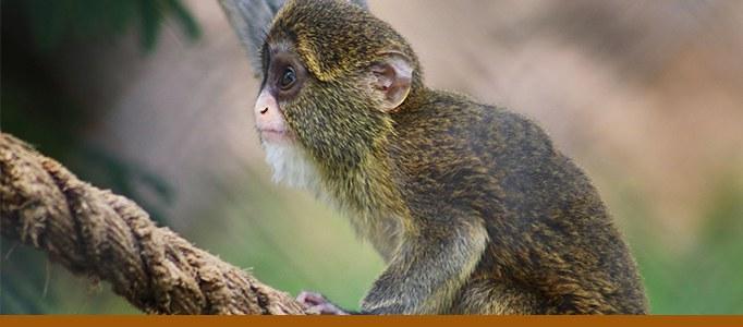 Debrazza's Monkey Banner