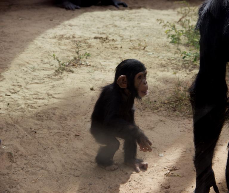 Dezi chimp
