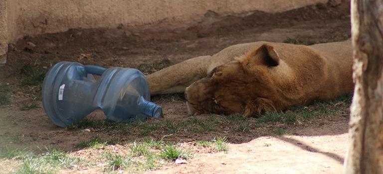 dixie-lion-biopark-enrichment