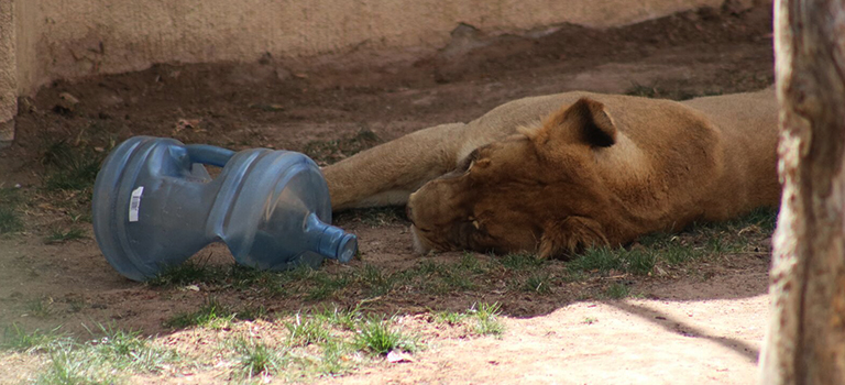 Dixie the Lion Water Cooler Jug