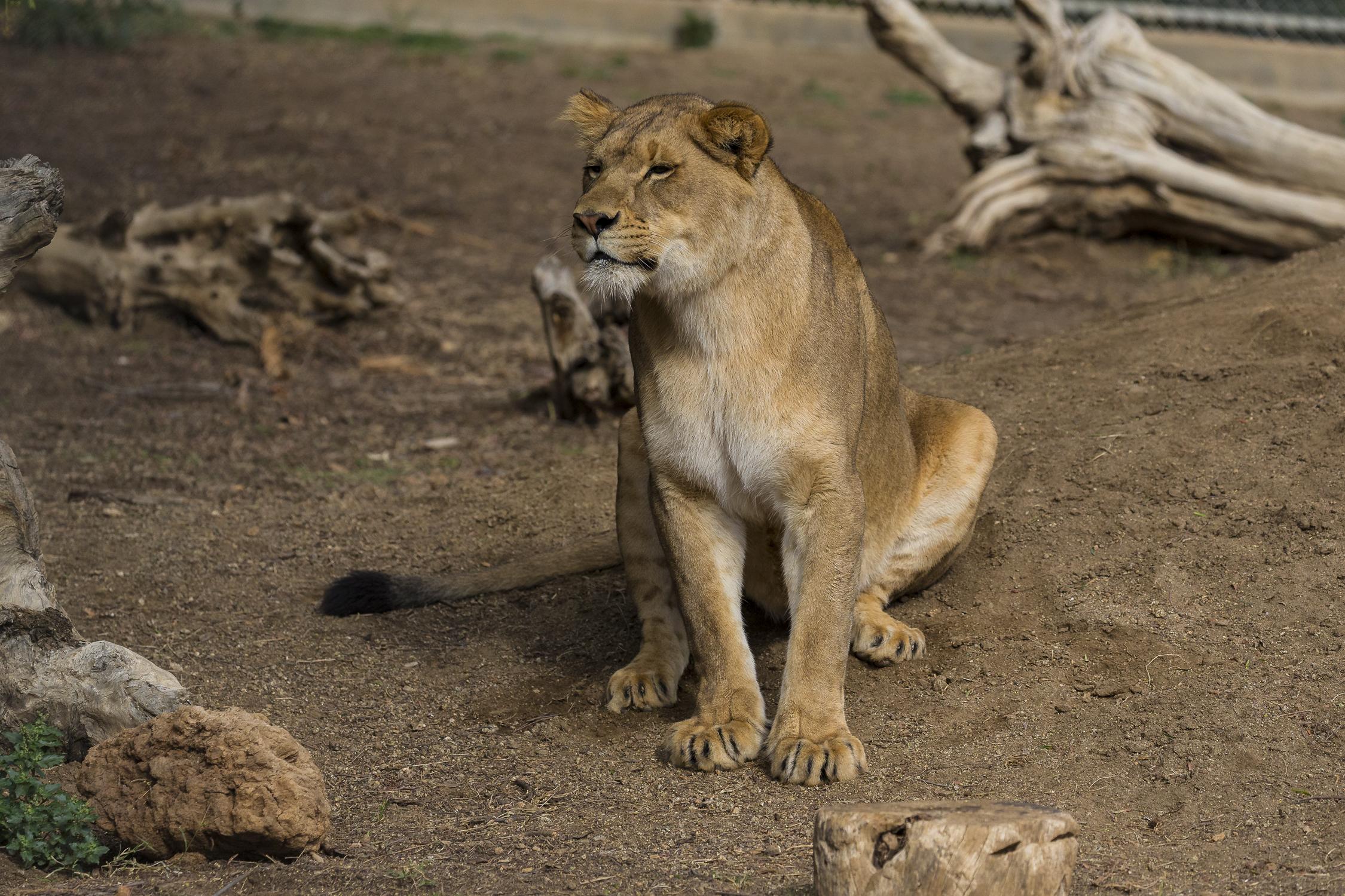 Dixie lion