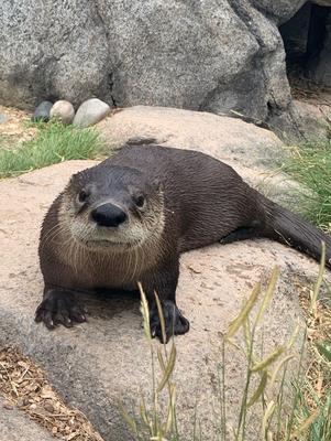 Dixon the otter, BioPark photo.