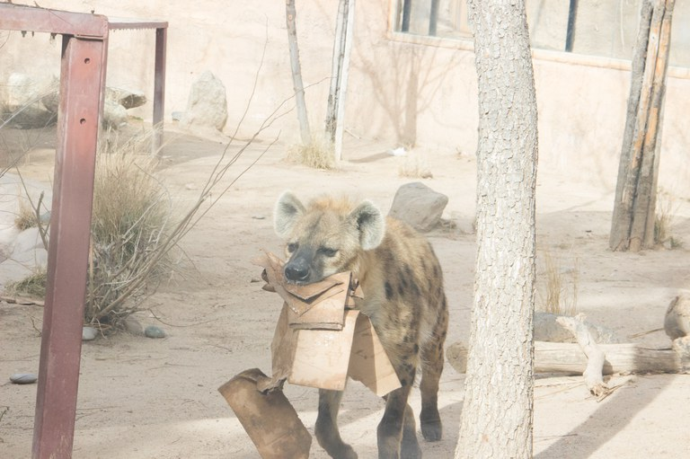 Hyena with box