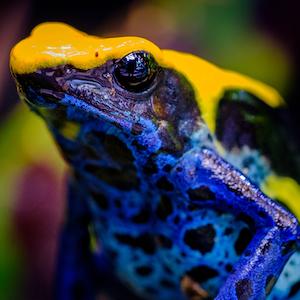 Dyeing Poison Dart Frog Headshot Animal Yearbook