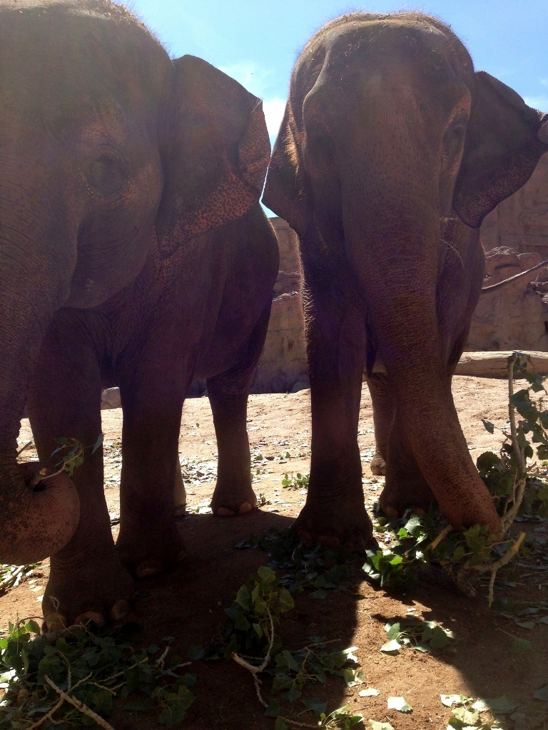 Elephants with browse