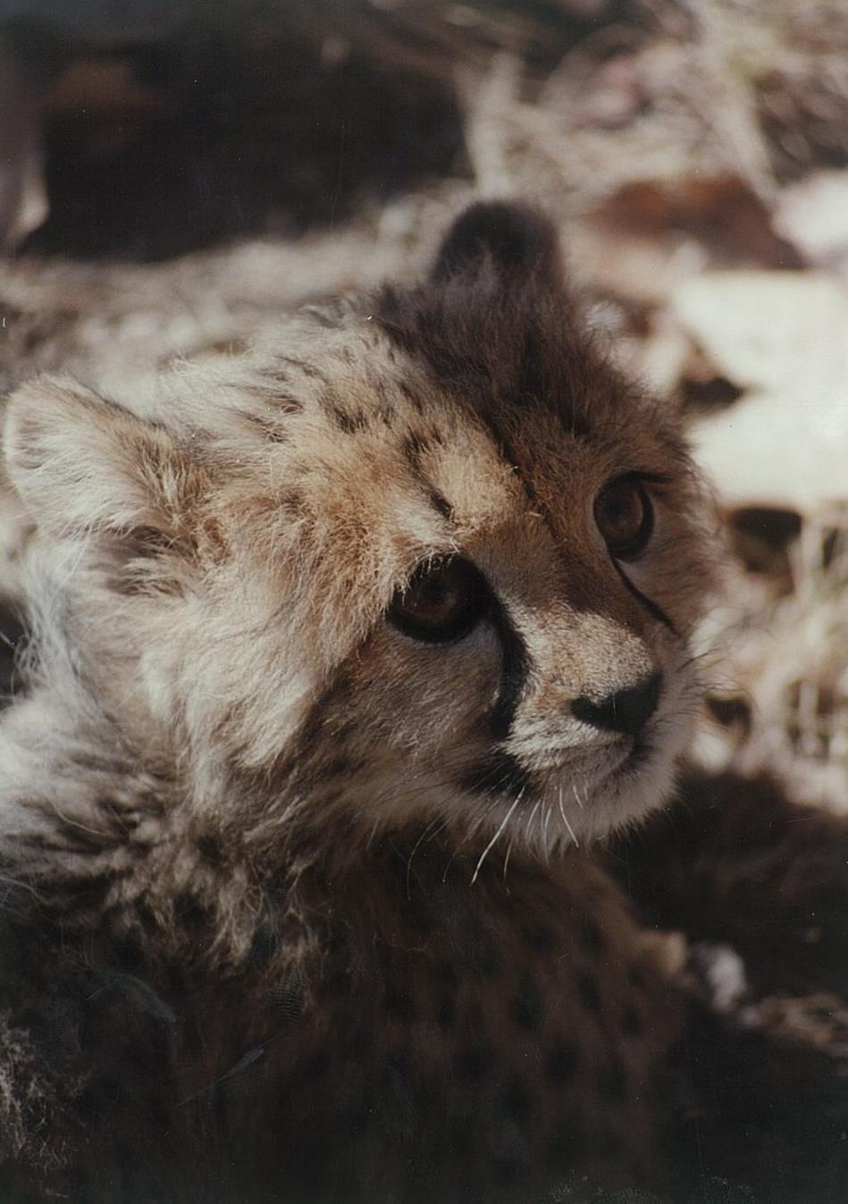 Cheetah Esperanza