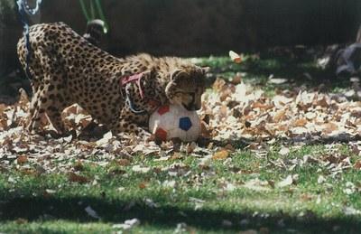 Esperanza cheetah