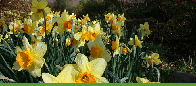 Flowers in Bloom Banner, daffodils