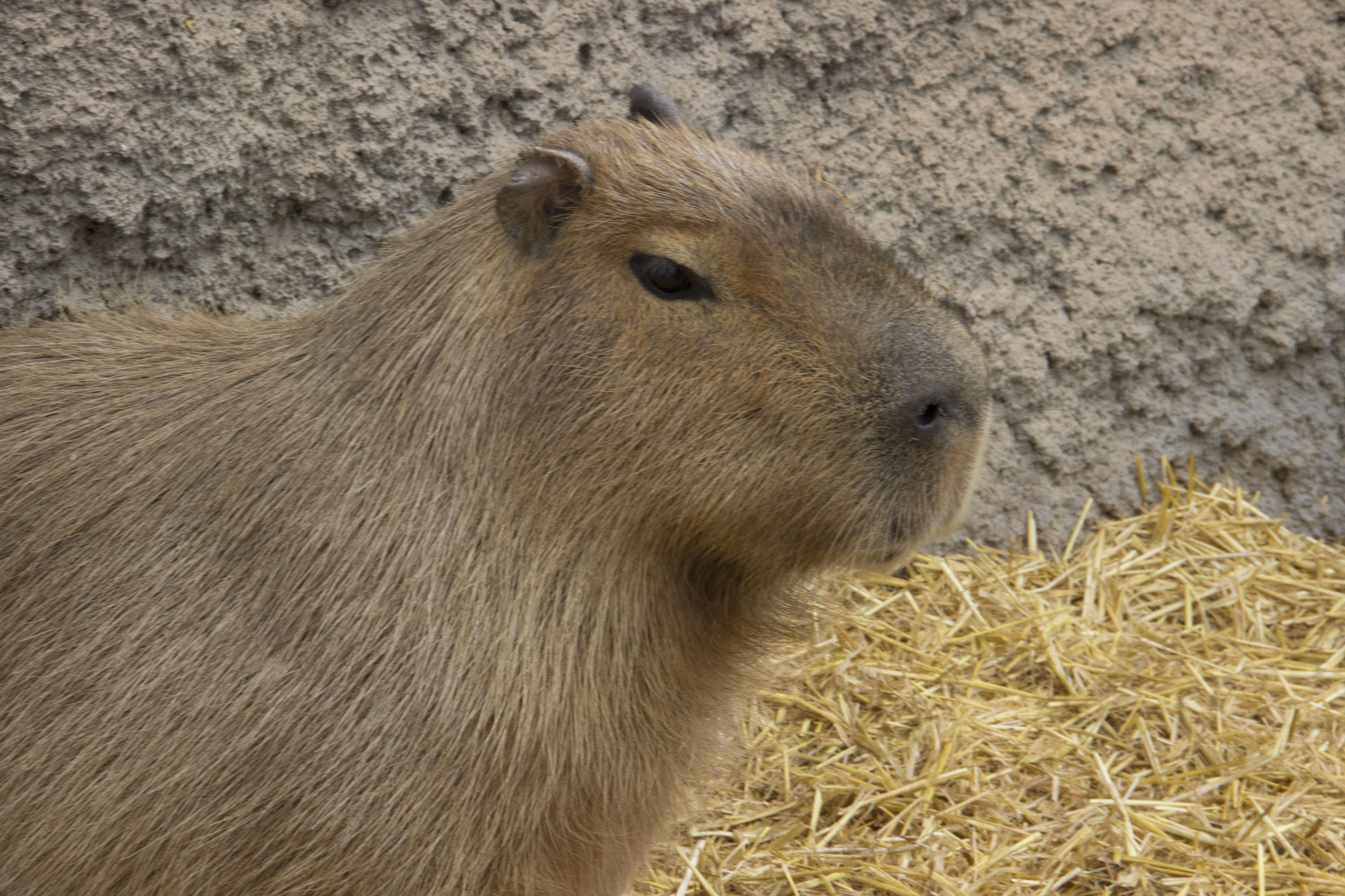 Capybara Francis