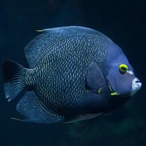 French Angelfish Headshot Animal Yearbook