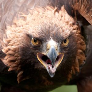 Headshot of Golden Eagle