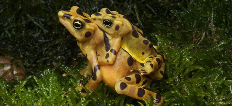 Panamanian Golden Frogs Mating