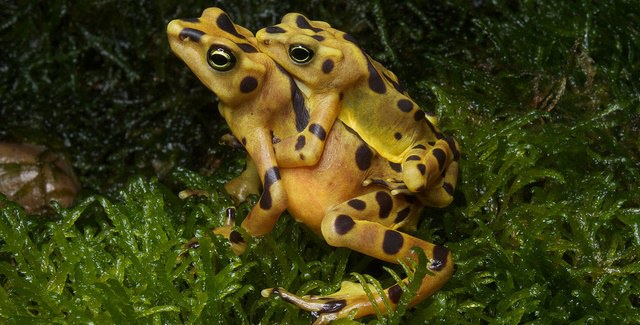 Panamanian golden frogs