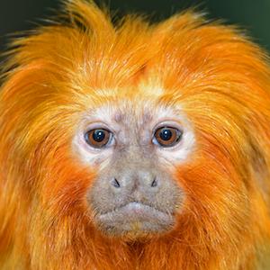 Golden Lion Tamarin Headshot Animal Yearbook