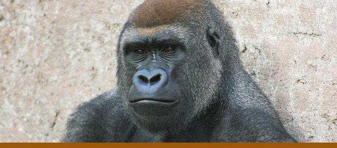 Gorillas exhibit banner