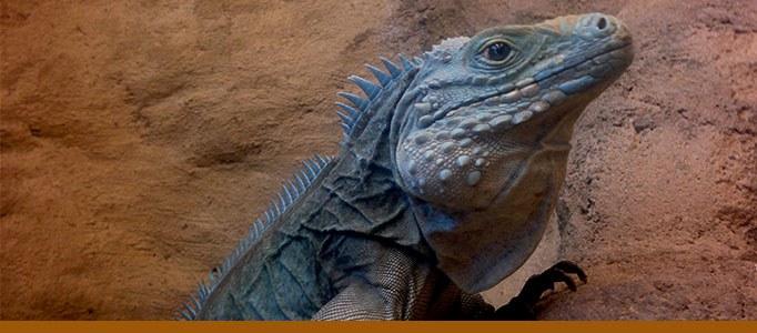 Blue iguana banner
