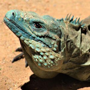 Grand Cayman Blue Iguana Headshot Animal Yearbook