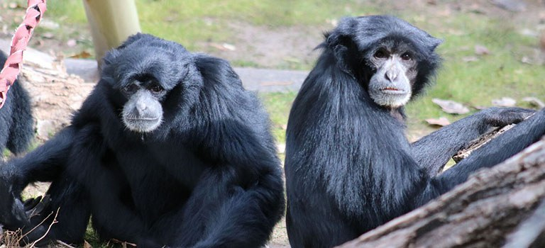 Great Apes Feature Siamangs