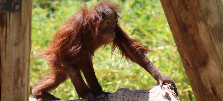 Great Apes Feature Orangutan