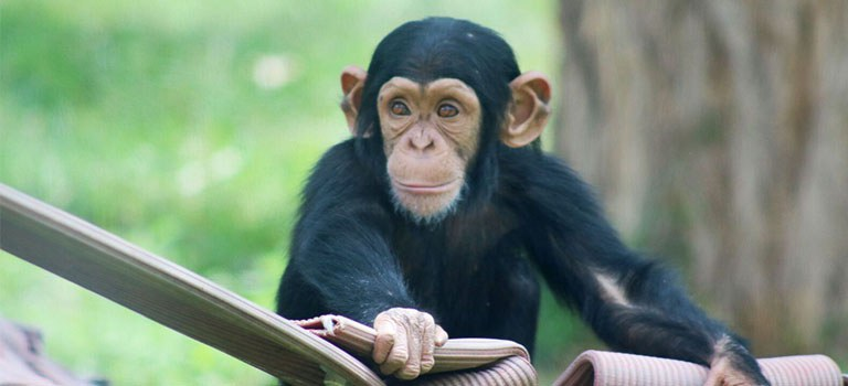 Great Apes Feature Chimp Baby