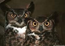 great_horned_owlsweb.jpg
