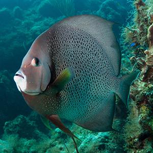 Headshot of Grey Angelfish