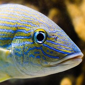 Grunt Fish Headshot Aquarium Yearbook