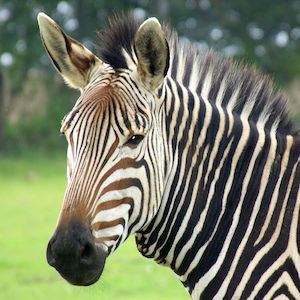 Hartmann's Mountain Zebra Headshot Animal Yearbook