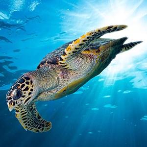 Hawksbill Sea Turtle Headshot Aquarium Yearbook