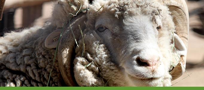 Heritage Farm, Botanic Garden, Sheep
