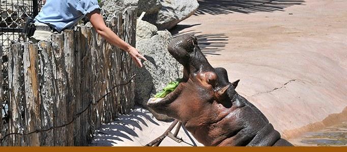 Hippo feeding banner