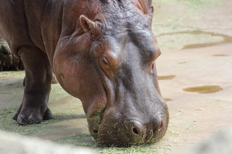Hippo Grazing BioPark