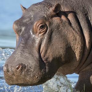 Hippo Headshot Animal Yearbook