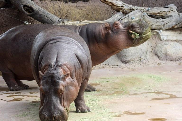 Hippo Karen and Moe BioPark