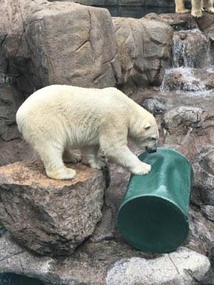 How the BioPark Works With Polar Bears BioPark Connect