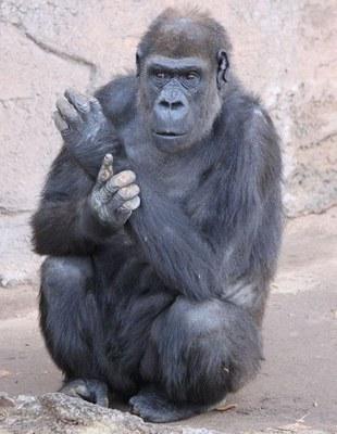 Huerfanita gorilla cropped