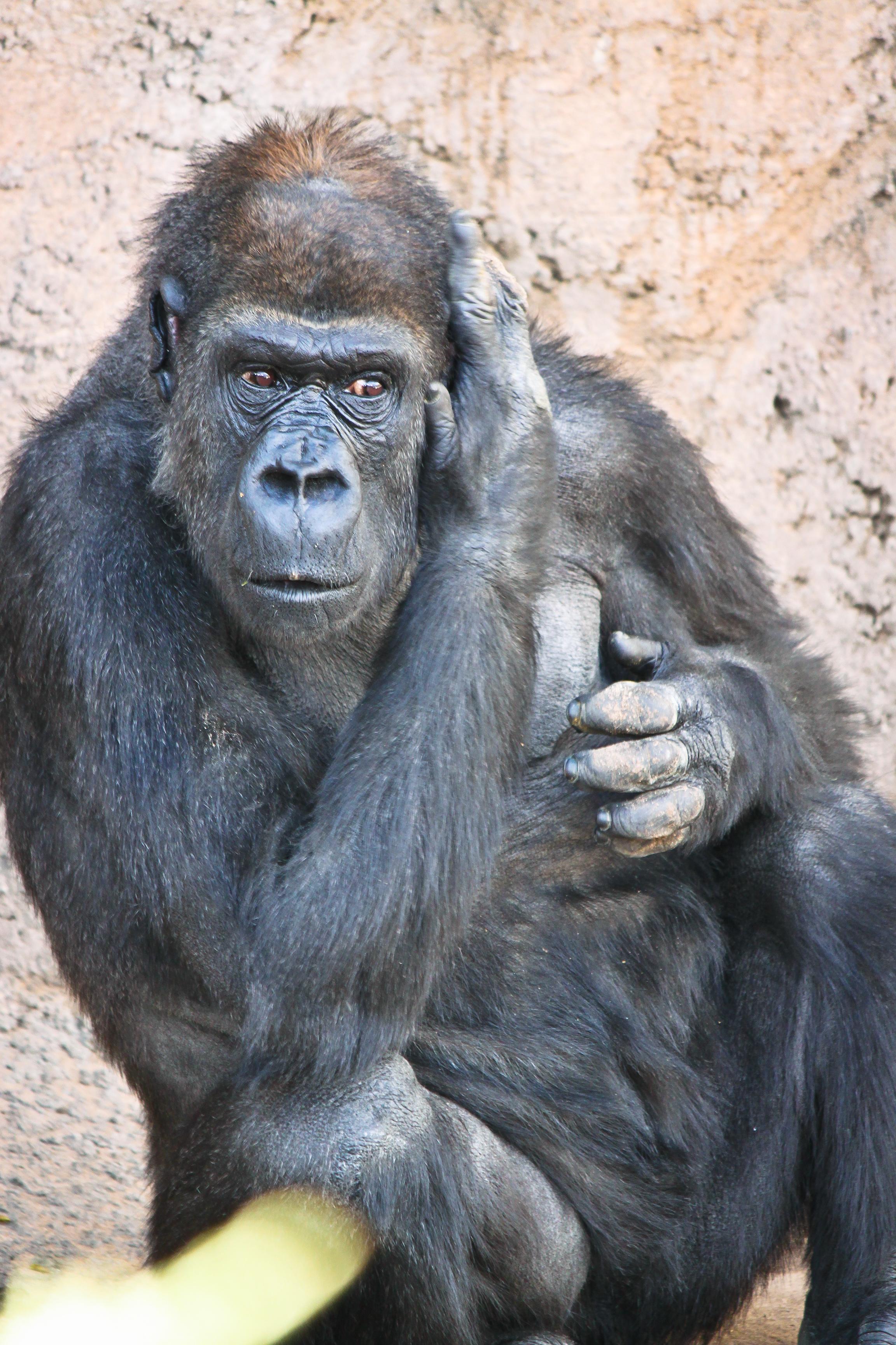 Huerfanita gorilla